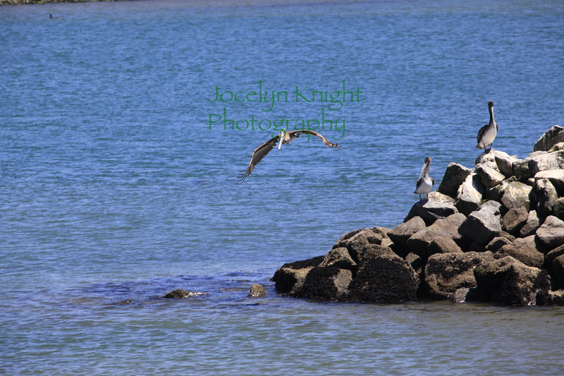 Brown Pelicans off Elkhorn Slough, Calif.