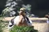 American Avocet in breeding plumage