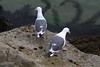 Western Gulls, adult, Monterey CA May 10, 2019