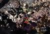 California Mussels, Feathered Corraline Algae, Black Turban Snails, Purple Urchin