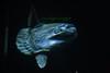 Sun Fish at Monterey Bay Aquarium