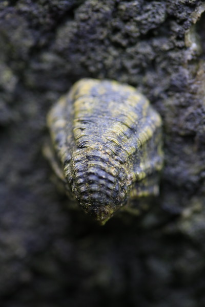 Checkered Limpet