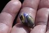 Live Olive Snail