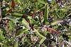 Sea Lavendar plant