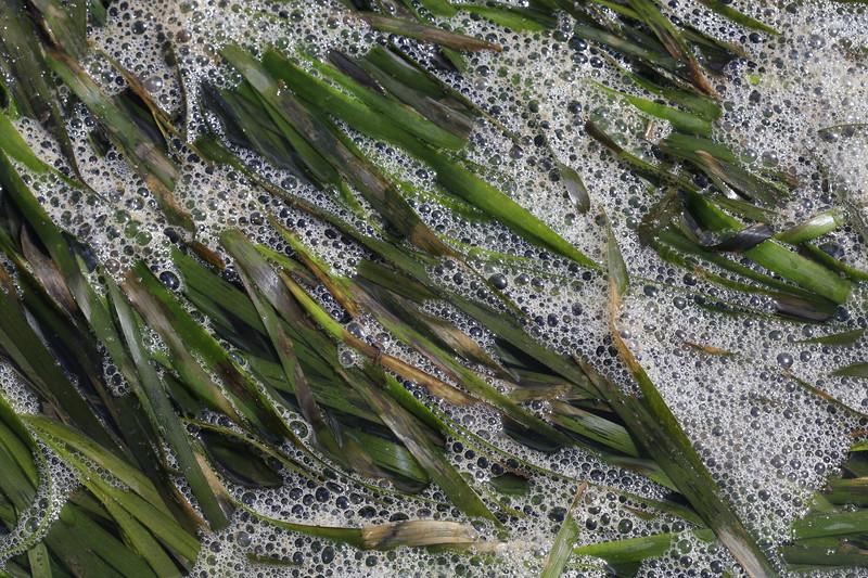 Eel Grass with Diatoms