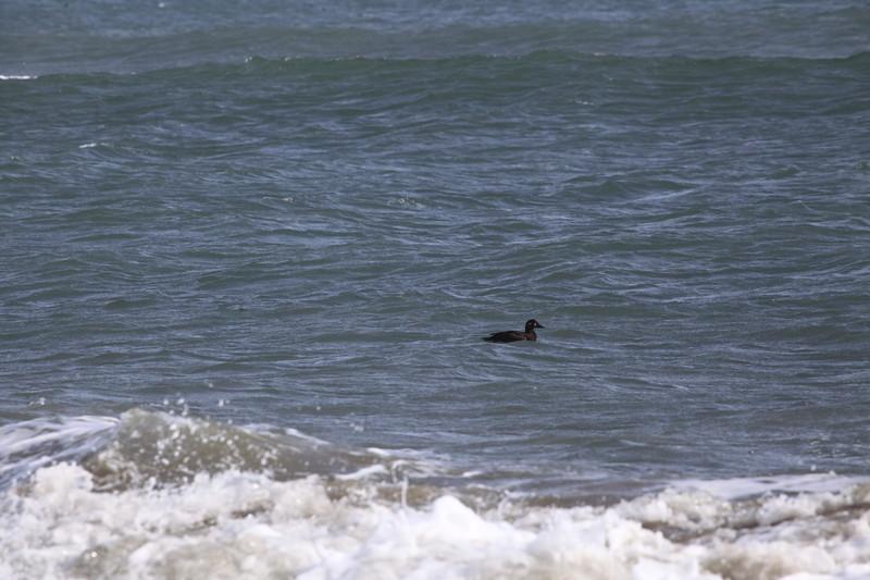 Female Surf Scoter