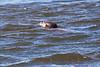 Otter4910