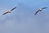 Pelicans4905