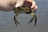Non-native invasive Japanese Green Crab