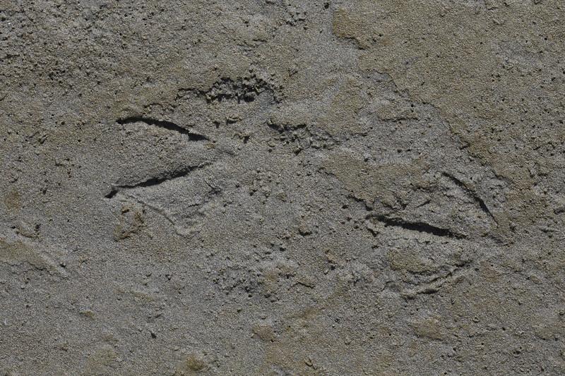 Dbl-Crested Cormorant tracks