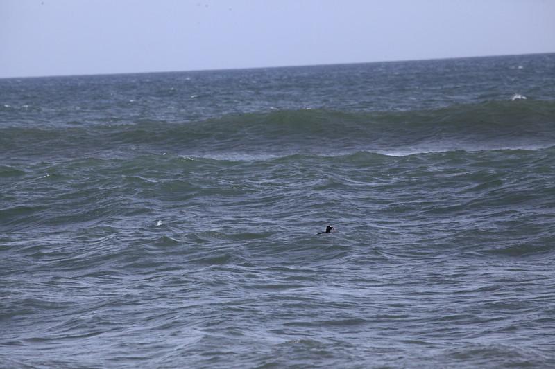Male Surf Scoter