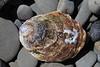 Purple Hinged Scallop Shell