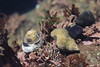 Dire Whelk and Black Turban Snails