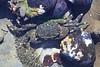 Lined Shore Crab, Mossy Chiton, Black Turban Snail