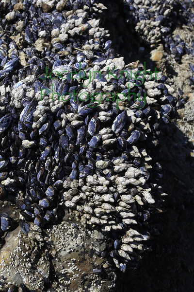Mussel Beds and Gooseneck Barnacles