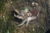 Dead baby octopus
