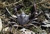 Dead Kelp Crab