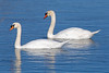 Swans7502