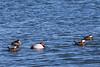 Ducks7509