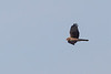 NorthernHarrier1390