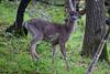 Deer3992