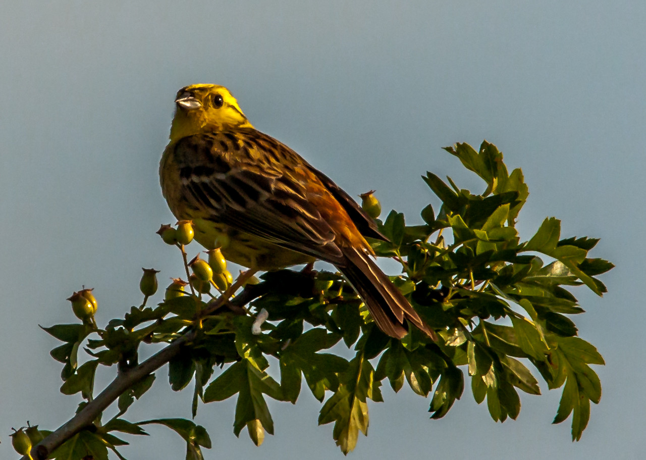 Yellowhammer very early in the morning
