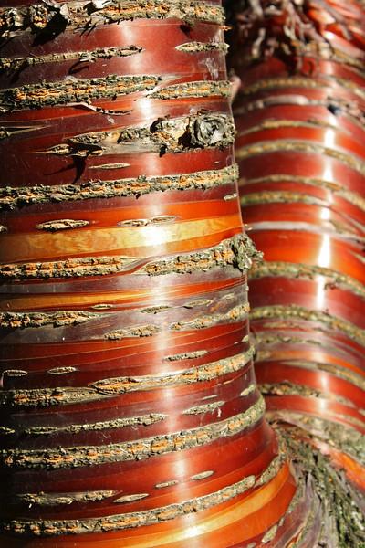 Birchbark cherry tree, Laurelhurst Park, Portland, Oregon