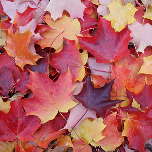 Sugar maple leaves, Lone Fir Pioneer Cemetery, Portland, Oregon