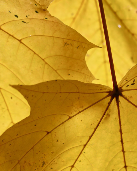 Norway Maple Leaves, Southeast Portland, Oregon
