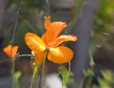 California Poppies: Shot with Lensbaby, noise added in Photoshop