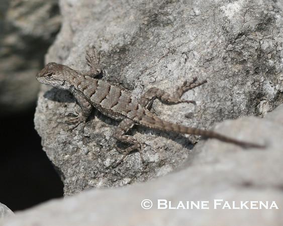 BLAINE FALKENA - A lizard looks up at Table Rock Lake, Missouri, September 21st, 2009.