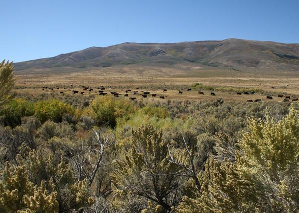 BLAINE FALKENA -- Cattle graze in the Idaho mountains near Oakley, Idaho September 27, 2007.