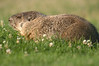 A groundhog wanders around a fairway at Mountain Valley Golf Course on Friday.