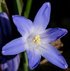 BLAINE FALKENA/Staff Photographer<br /> Pollen lightly dusts the delicate petals of a crocus in bloom at a house on Irving Street in West Hazleton Tuesday afternoon.