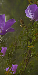 Purple Blossoms 2