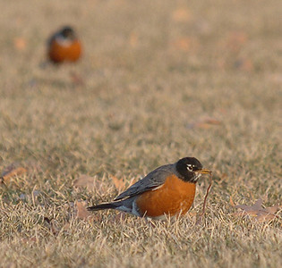 BLAINE FALKENA/Staff Photographer<br /> THE EARLY (EVENING) BIRD GETS THE WORM – A robin catches a worm in the field hockey field about 6:25 Thursday evening. The field had around 50 robins searching for food as the sun sank amid blowing clouds.
