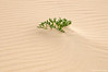 Cakile en la duna