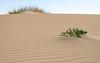 Cakile y Ammophila sobre una duna