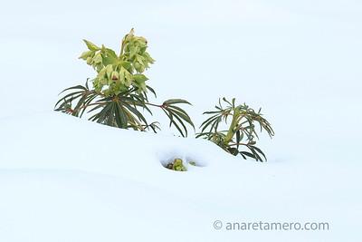 Eléboro en la nieve