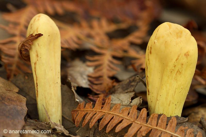 Clavariadelphus pistillaris
