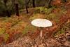 Gallipierno <em>(Macrolepiota procera)</span></em> en el alcornocal (otoño)