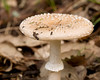 <em>Amanita pantherina</span></em>