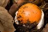 Amanita de los césares o yema de huevo <em>(Amanita caesarea)</span></em>