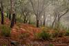 Día de lluvia y niebla en el alcornocal (invierno)