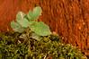 Nuevo alcornoque <em>(Quercus suber)</span></em>