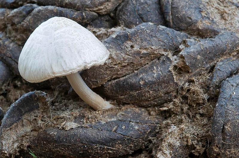 Sobre una caca <em>(Panaeolus semiovatus)</span></em>
