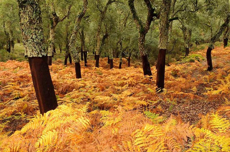 Alcornocales en otoño