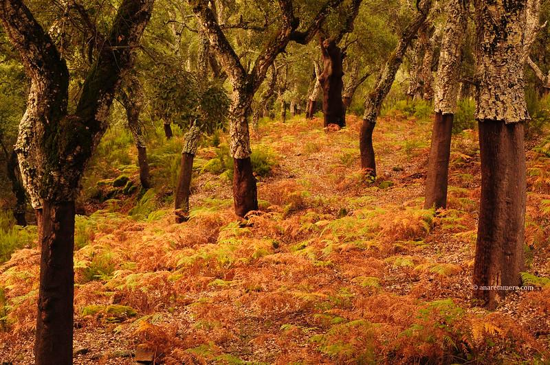Alcornocal en otoño