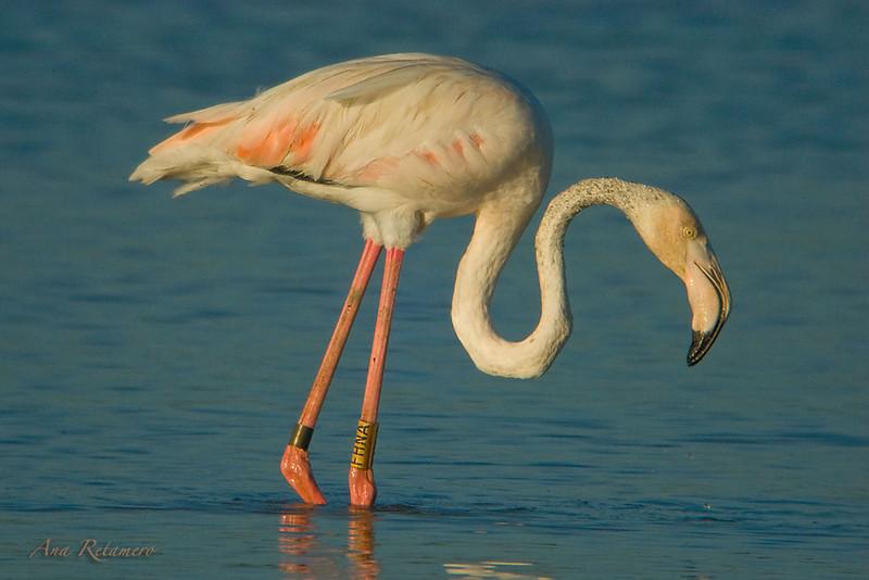 Greater flamingo (Phoenicopterus ruber)-digiscoping