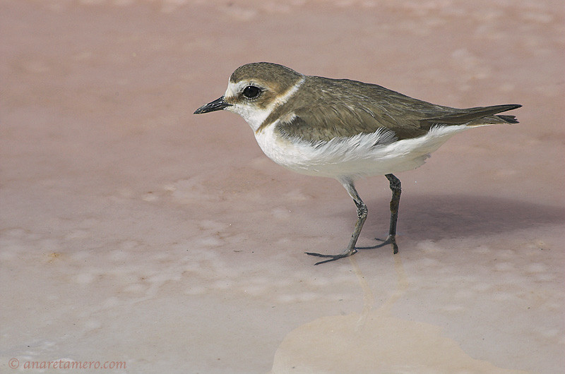 Walking on a saline floor (Charadrius alexandrinus)